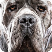 Cane Corso Background