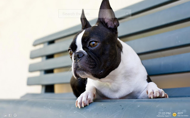 Boston Terrier NewTab Themes HD