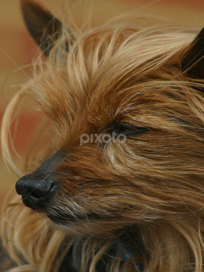 Cute Yorkshire Terrier dog in Bexhill by Dean Thorpe - Animals - Dogs Portraits ( yorkshire terrier, yorkie, pet, dog, close up,  )