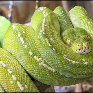 Green Tree Python 900.jpg
