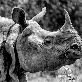 Portrait of a Rhino by Pravine Chester - Black & White Animals ( photograph, monochrome, black and white, wildlife, rhino, animal )