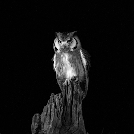Scops by Garry Chisholm - Black & White Animals ( raptor, bird of prey, nature, scops owl, garry chisholm )