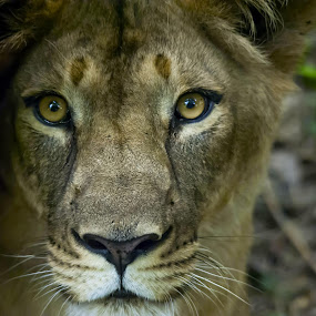 Look Into My Eyes by Vijayanand Kandasamy - Animals Lions, Tigers & Big Cats ( lioness, close-up of lioness, lioness in wild, lioness face, eyes of lioness,  )