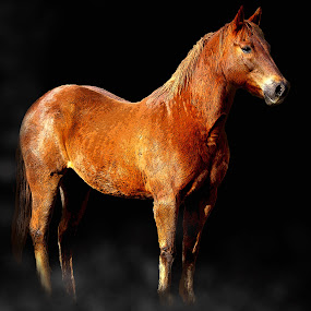 Pride by Jenny Gandert - Animals Horses ( equine, cavallo, horse, equus, sun, shadows, pride, caballo, chestnut, proud, gelding, light, stance )