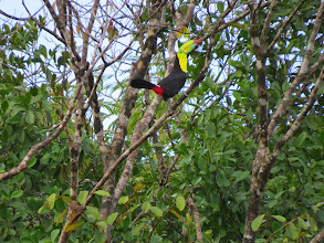 Photo: Keel-billed Toucan