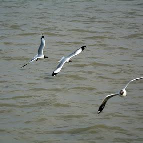 Three in a row by Chirag Gupta - Animals Birds ( bird, pattern, three, white, seagulls, sea, gulls )