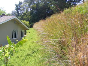 Photo: The steep hillside behind this house in Santa Barbara was inaccessible to the owners . They wanted to grow fruit trees and vegetables but needed a way to protect the slope. They succeeded using the Vetiver System. Not only have they been able to plant trees and vegetables, but the house is now protected from damage from intense storm runoff and slope slippage. NOTE Vetiver improves the shear strength of soil by as much as 40%.