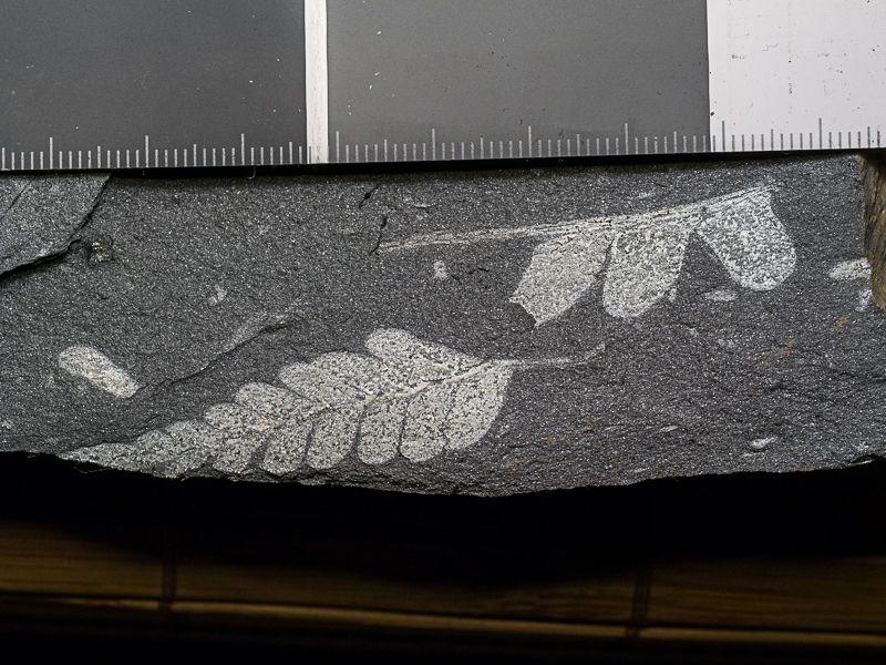 Flore Carbonifère des Alpes Françaises part 1 - Page 5 IPJyHYPtrsOnax9RVY7168q9qo9JqXoHXW2PnJP2xv5kceSopQbP96Eyfhfi9gR_Rb2N1-4pOOeH_Q=w1920-h1080-no