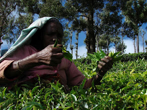 Photo: 7B220956 na plantacji herbaty