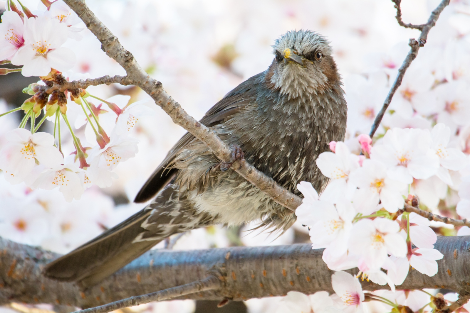 Photo: 満足を浮かべて Satisfied facial expression.  駆け抜ける桜の季節 楽しんで楽しんで 後悔することの無いように 精いっぱい楽しみ尽くそう  Cherry blossoms and Brown-eared Bulbul. (二ヶ領用水の桜とヒヨドリ)  #IslandGallery_BrightLights +Takahiro Yamamoto  +Island Gallery   #fujisakura #cooljapan #365cooljapanmay  #birdphotography #birds  #kawaii  Nikon D7100 SIGMA APO 50-500mm F5-6.3 DG OS HSM [ Day336, April 13th ]  小鳥の詩朗読 https://youtu.be/sAjVYCfKkl0?list=PL2YtHGm0-R3qVsaqvQe9OYdJFCkI98wzF