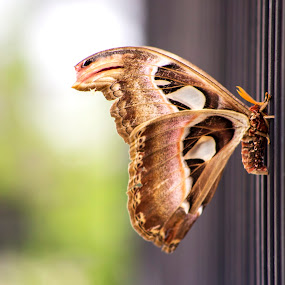 Broken Wing by Bayu Anggono - Animals Insects & Spiders ( butterfly, butterflies, art, insect, insects )