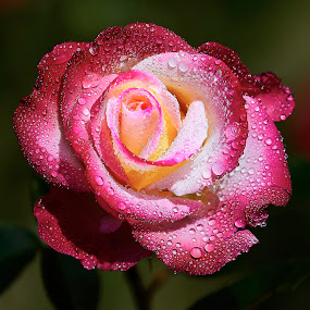 0 Rose 9621~ 1 by Raphael RaCcoon - Flowers Single Flower