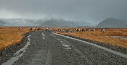 Photo: Estamos en Skaftafell National Park. Caminito de las lenguas glaciares nos encontramos esta manada de renos totalmente inesperada.