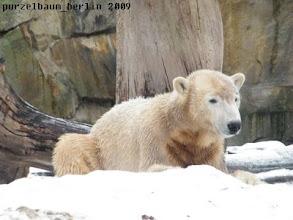 Photo: Wohl nicht - geniesst Knut eben seinen Schnee :-)))