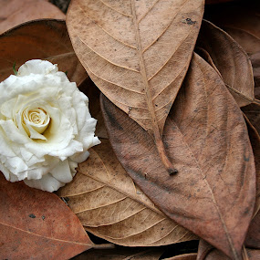 Rose to Dried Leaves by Mj Loyola Ganitano - Nature Up Close Flowers - 2011-2013