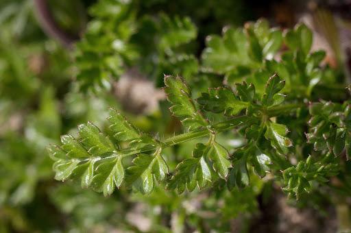 Daucus carota gummifer