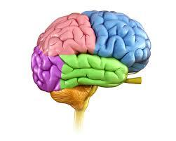 Image result for pic of brain