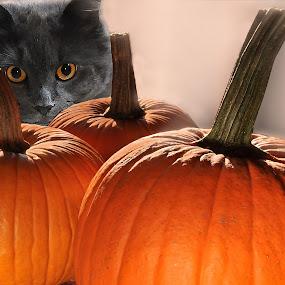 Cat And Pumpkins by Corinne Noon - Public Holidays Halloween ( orange, cat, pwc, pwc 77, pumpkins, holidays, halloween, eyes,  )