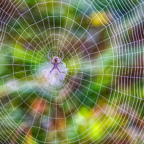 Web of Colors by Brad Bellisle - Nature Up Close Webs ( spider,  )