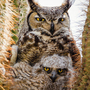 Great Horned Owl-36.jpg
