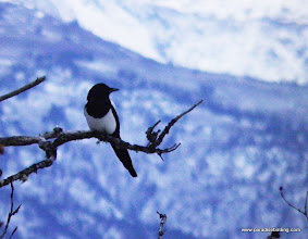Photo: Black-billed Magpie in the woods above Homer