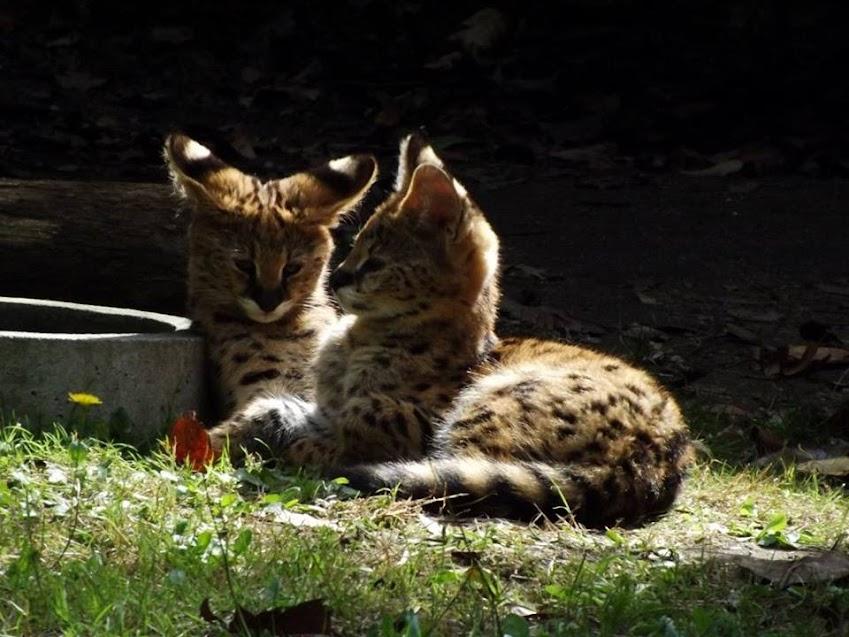 Chatons servals de 3 mois, la Boissière du Doré - Tous droits réservés