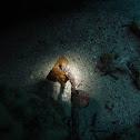 Pacific seahorse