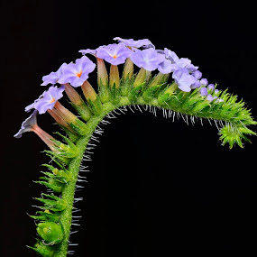 by SweeMing YOUNG - Nature Up Close Flowers - 2011-2013 ( plant, nature, flora, flower, petal )