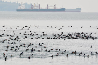 Photo: A mixed flock of Surf Scoter and Barrow's Goldeneye