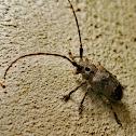 Eye spot longhorn beetle