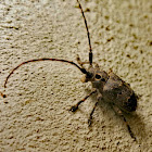 Eye spot longhorn beetle