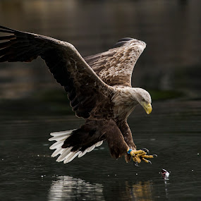 White-tailed eagle  by Dennis Hallberg - Animals Birds ( white-tailed eagle,  )