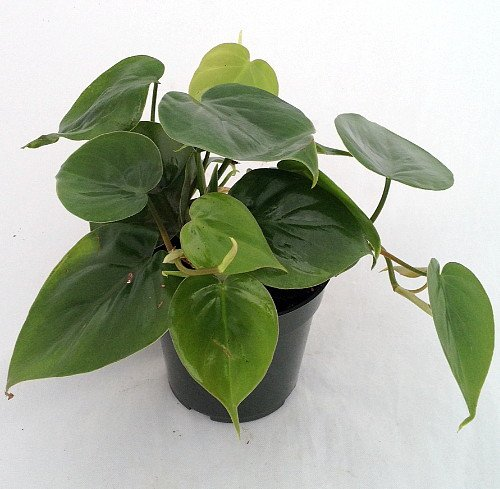Heart-Leaf Philodendron.jpg
