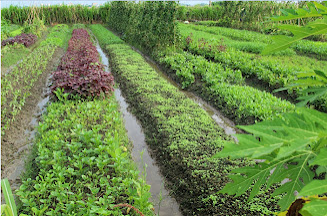 Rau sạch Hà Nội -Nơi trồng rau an toàn nhất Hà Nội
