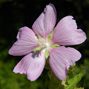 Greater musk-mallow (Αλθαία)