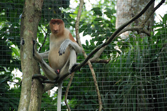 """Photo: Back to the Proboscis monkey (in the Zoo).  They call them """"Dutchmen"""" because they have long noses and big stomachs..."""