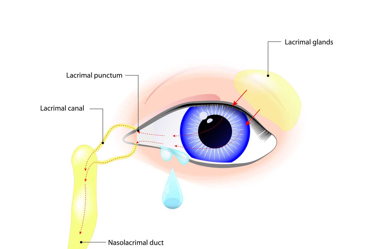 labeled diagram of an eye with a purple iris, including the lacrimal glands leading to puncta, canaliculi, and the tear duct