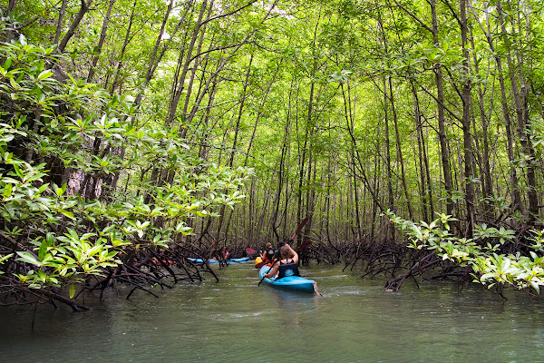 Enter the mangrove forest with its submerged roots