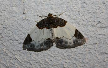 Photo: Mesoleuca albicillata  Lepidoptera > Geometridae