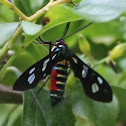 Black and white wing moth