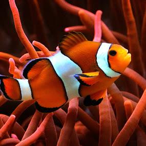 Nemo!  by Claudiu Petrisor - Animals Fish ( orange, fish, aquarium, germany, nemo,  )