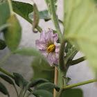 Egg Plant Flower