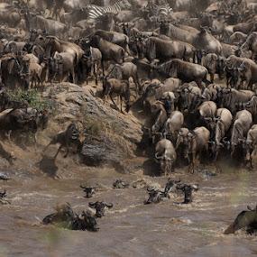 Great Migration by VAM Photography - Animals Other Mammals ( tanzania, nature, mara river, wildebeest, animals )