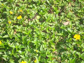 Photo: Beach Sunflower