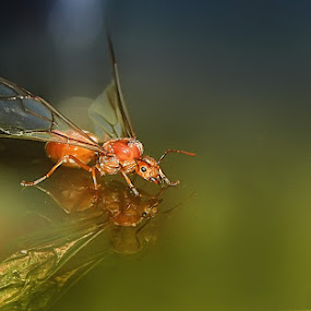Queen of Ant by Awan Setiawan - Animals Insects & Spiders