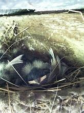 Photo: jonge zwaluwen onder schuurdak