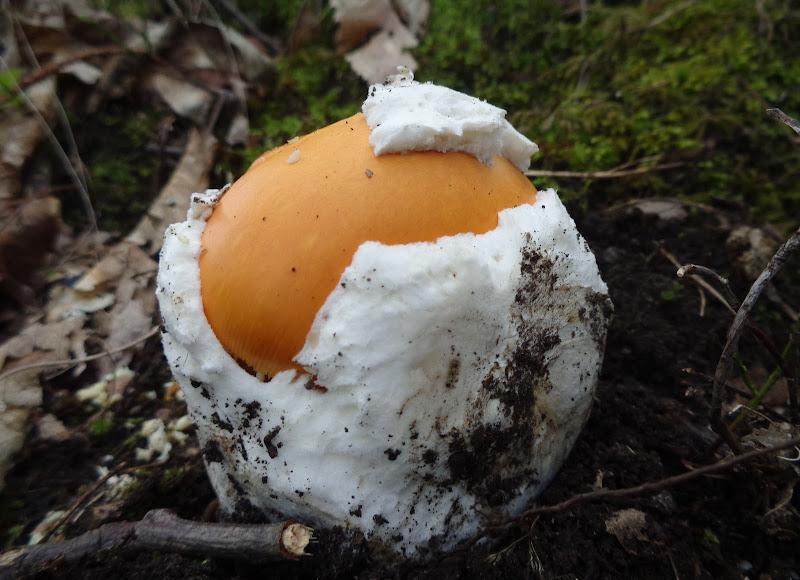 Magico... veder nascere un fungo  di FLORANS