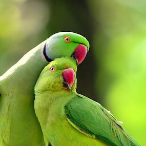 Rose ringed parakeet in romantic mood by Manoj Kulkarni - Animals Birds ( green, beak, nature, ringed, red, background, bird, parakeet, rose, female, parrot, male, wildlife )