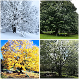the four seasons by Shelby Dennis - Digital Art Places ( seasons, tree, maple, trees, colorful )