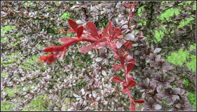 Photo: Dracilă (Berberis.....) - din Parcul Teilor - 2017.05.16